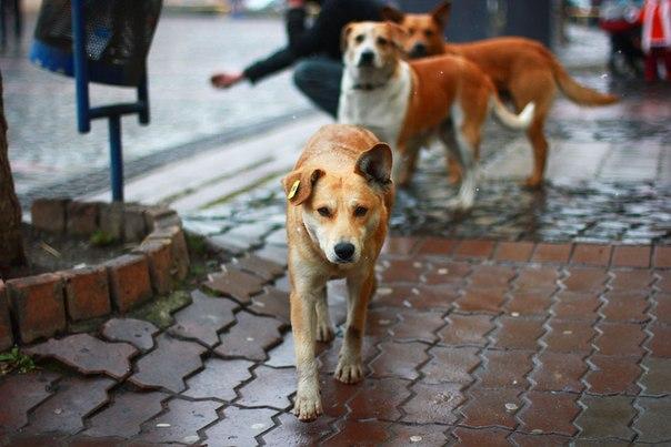 собаки на вулицях Мукачево